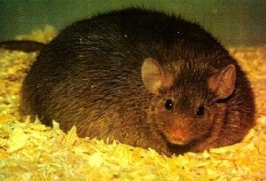 Insane medicine - Fat mice get fat by eating fat diets. The effect damages their progeny.