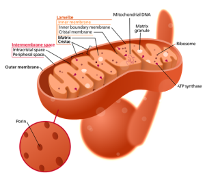 Insane Medicine - Mitochondria are the work horse of the cell,producing it's energy, but also they may be the root cause of aging.